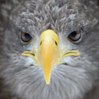 Portrait of a White-tailed eagle (Haliaeetus albicilla) shot at a tiny zoo on Margitsziget, Budapest. The zoo has a special program for birds of prey who for some reason got injured and aids their rehabilitation.
