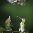Green-crowned Brilliant hummingbird male (Heliodoxa jacula) drives off another female. Monteverde, Costa Rica.