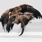 White-tailed eagles (Haliaeetus albicilla) fighting over food over the snow covered Hortobágy National Park, Hungary