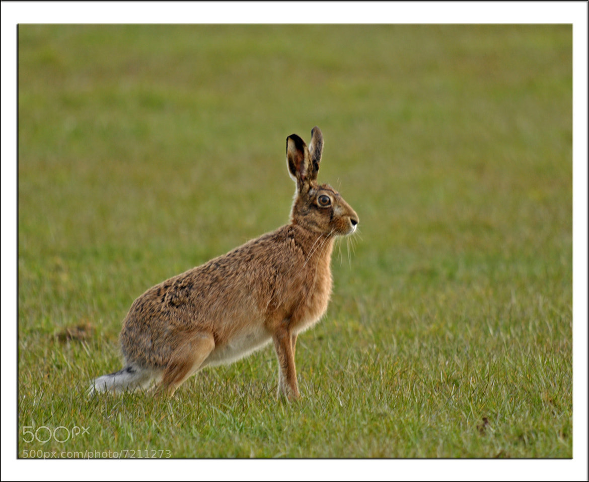 Photograph Brown Hare by Graham Turner on 500px