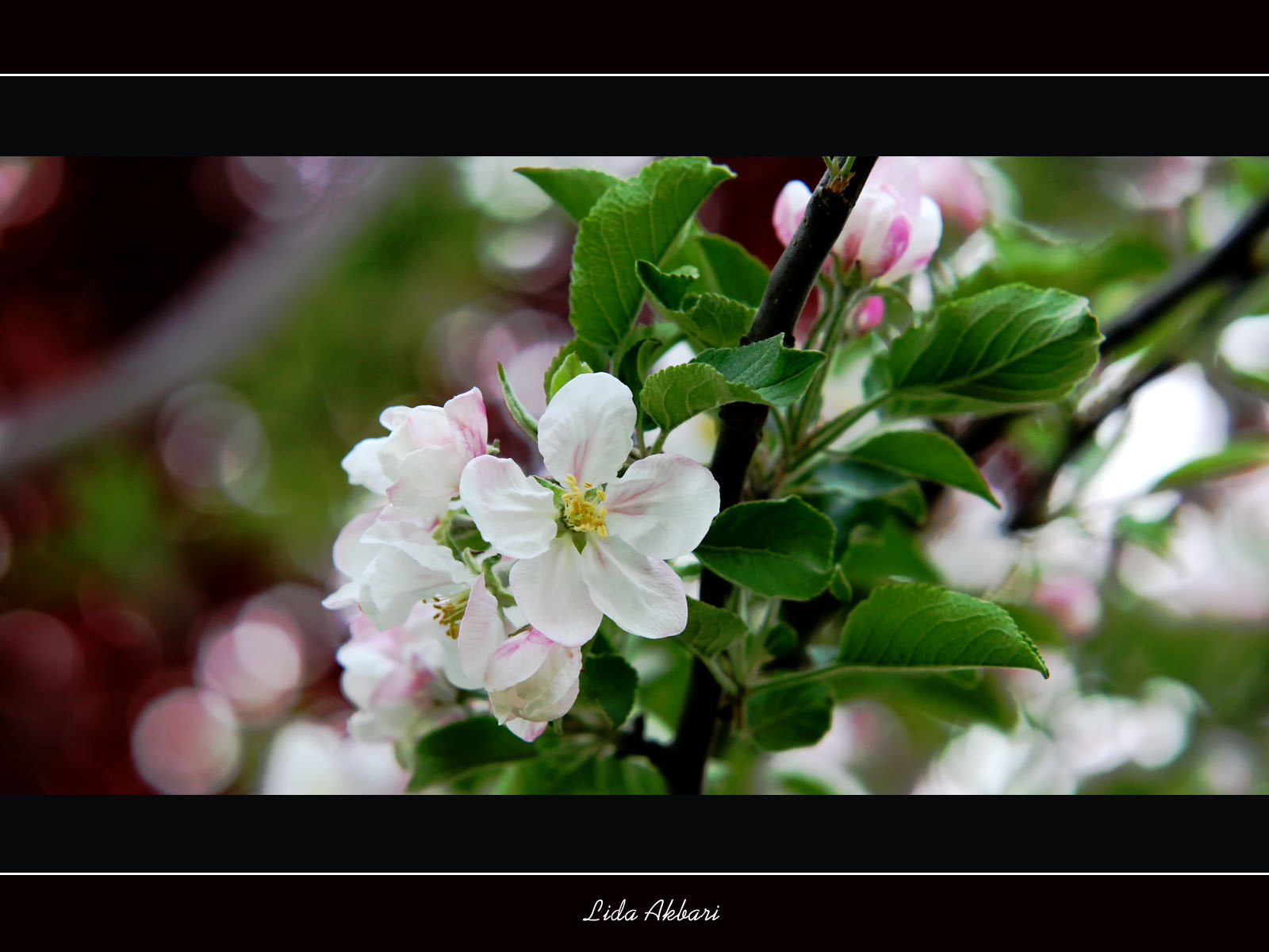 Photograph blossoms; colors playing! by happy girl on 500px
