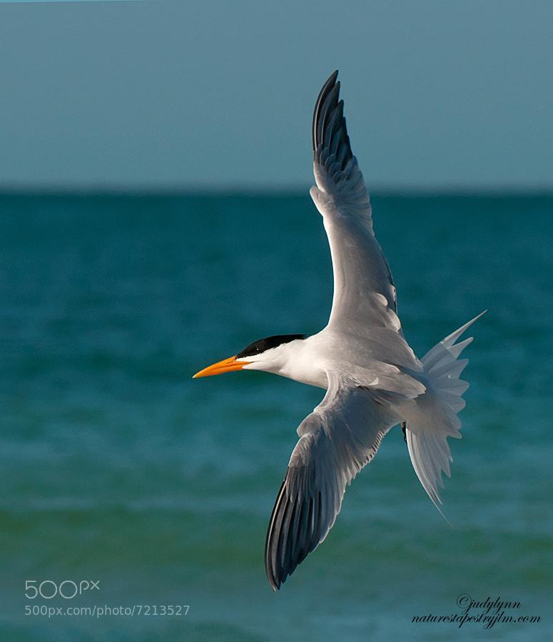 Photograph Royal Tern Returning by Judylynn Malloch on 500px