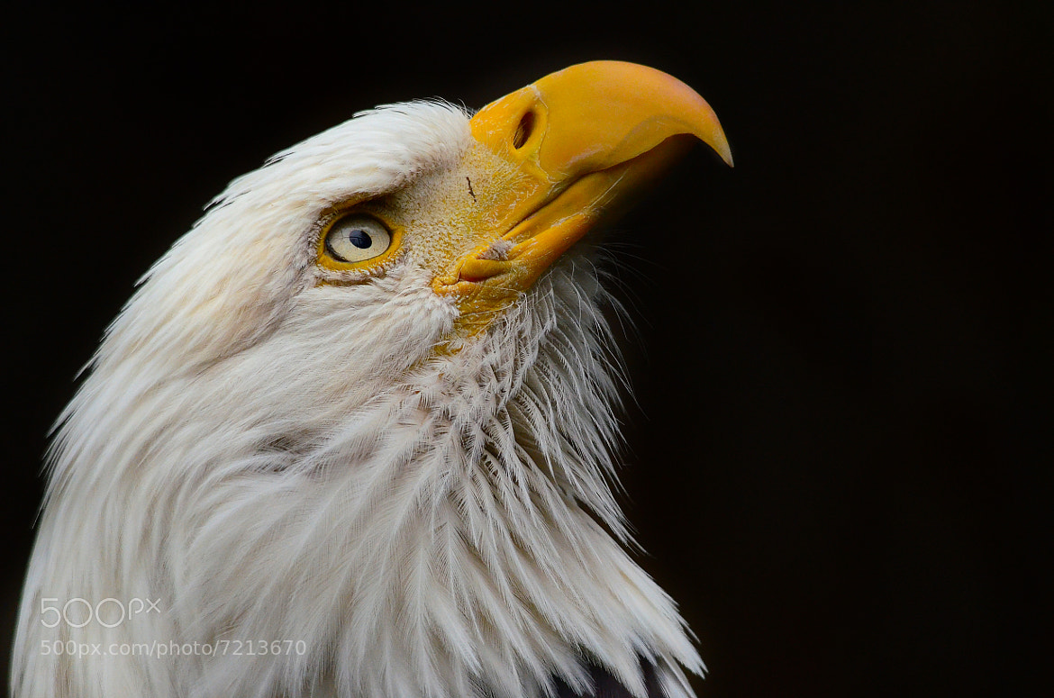 Photograph Bald Eagle by Anura Fernando on 500px