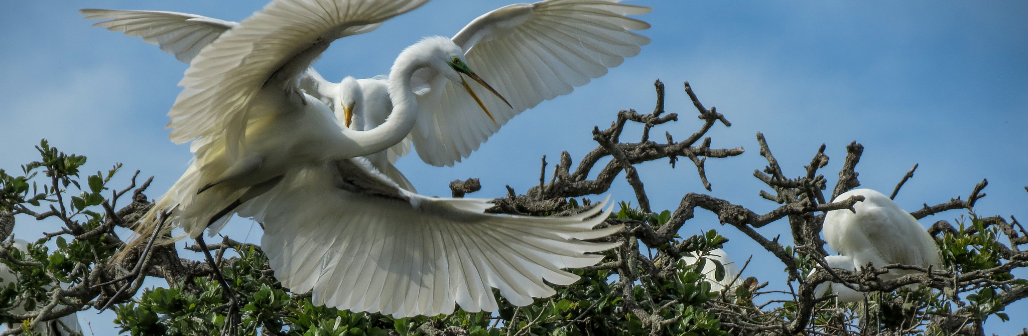 Photograph Great Egret Action by Stephen Ingraham on 500px
