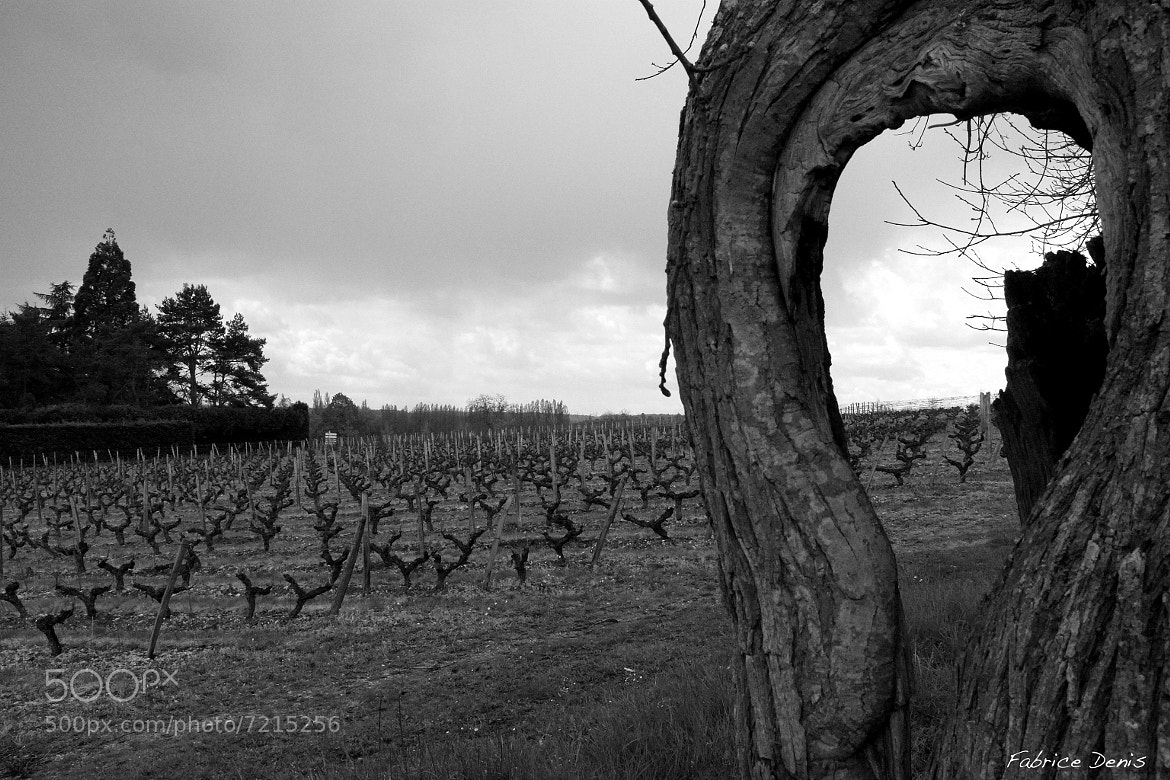 Photograph The vineyards of Touraine by Fabrice Denis on 500px