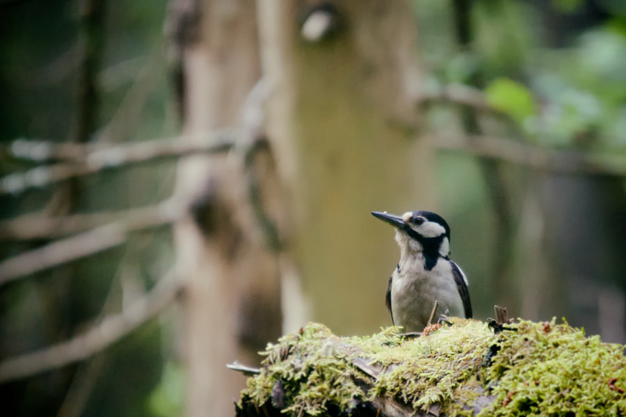 Dendrocopus major - Great spotted woodpecker