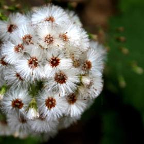 Karahindiba Flower