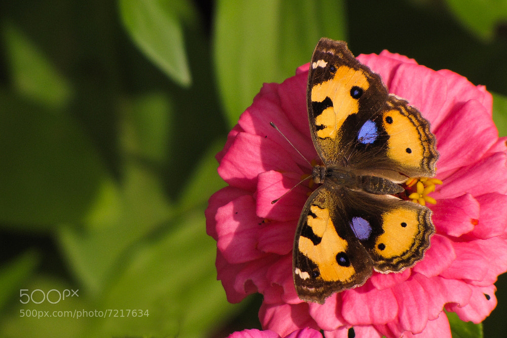 Photograph Butterfly - Unknown by Abhinav Bodas on 500px
