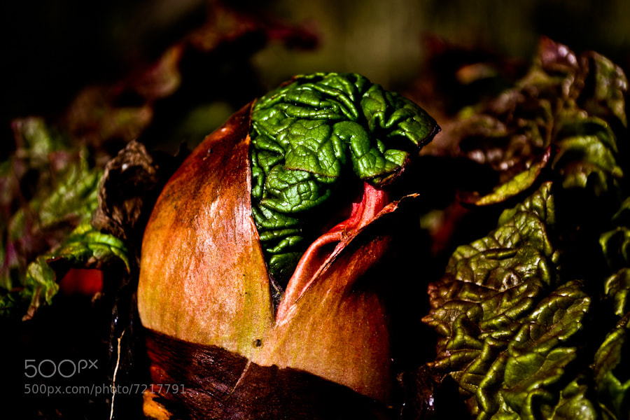 Photograph young rhubarb by manlio marcheggiani on 500px