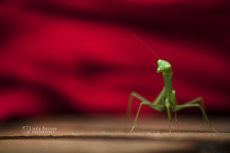 Photograph Mantodea by Linda Basson on 500px