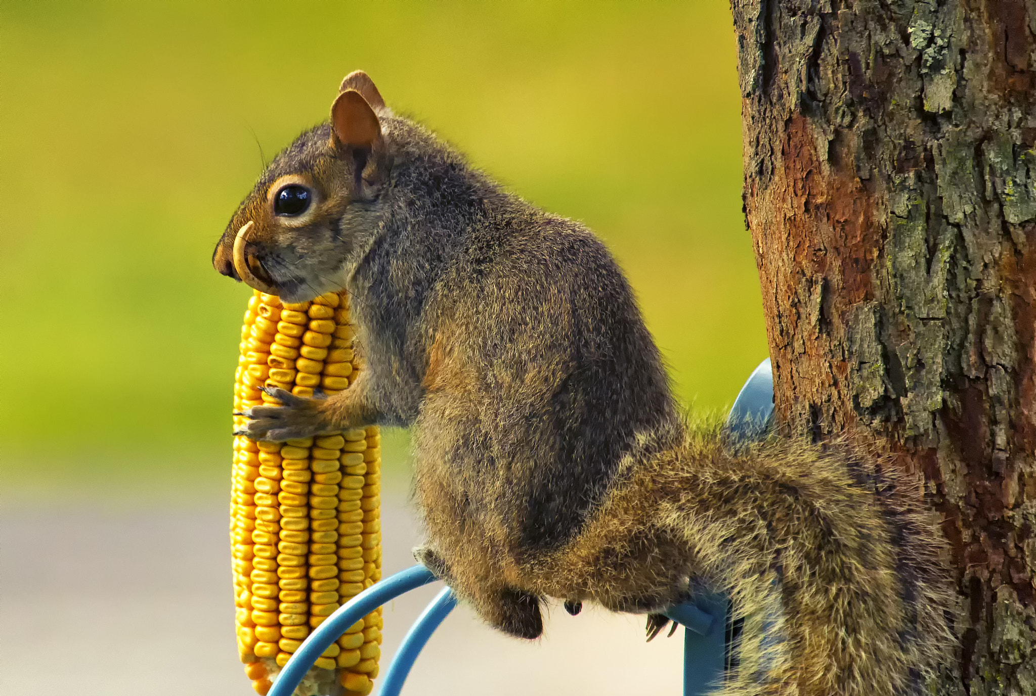 Photograph Snaggletooth Squirrel with Corn by Bill Tiepelman on 500px