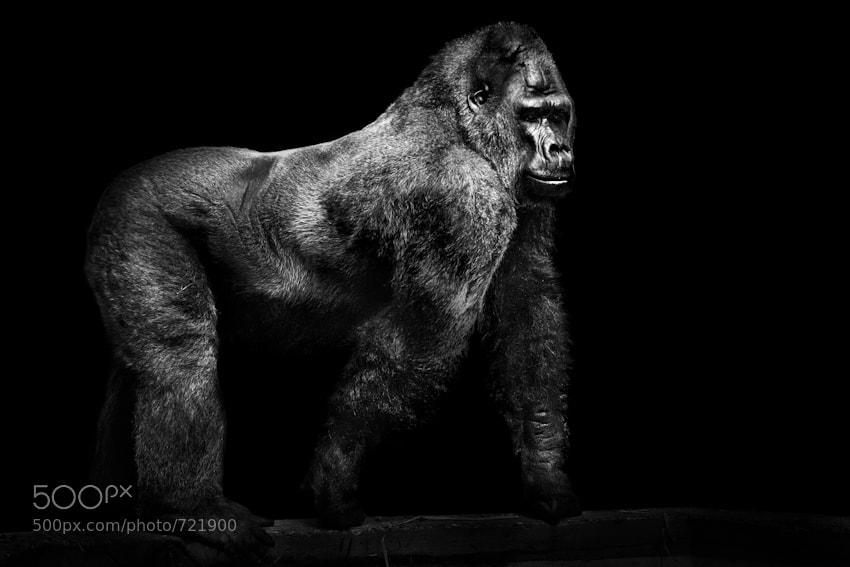 30 gorilla