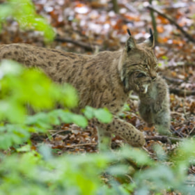Babylynx with mommy by andreas richter (animalphotography)) on 500px.com