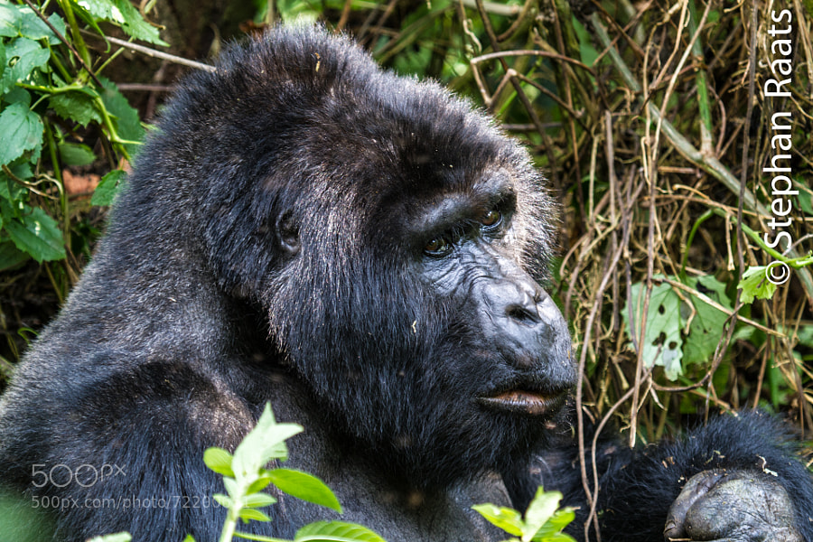 Mountain Gorilla eating.