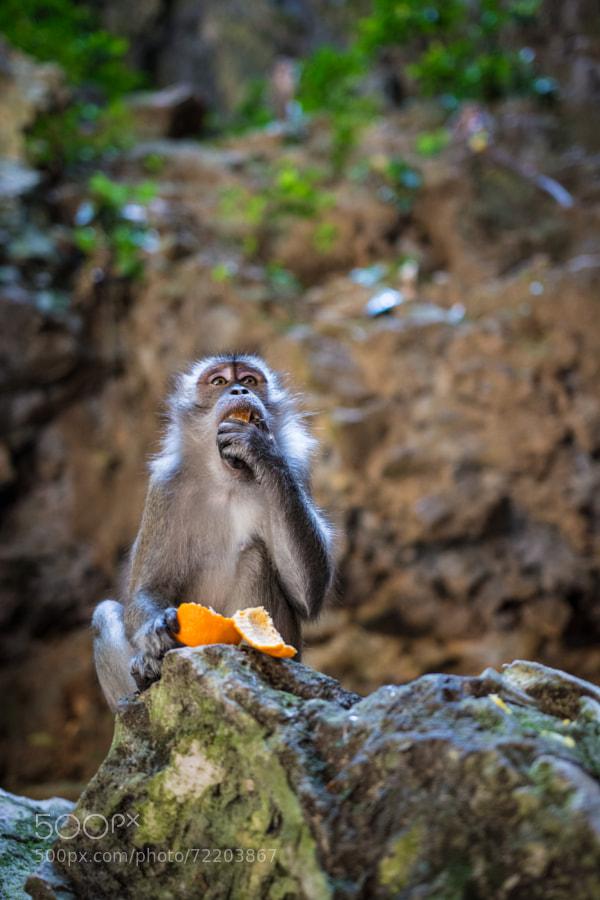 Monkey eating an orange