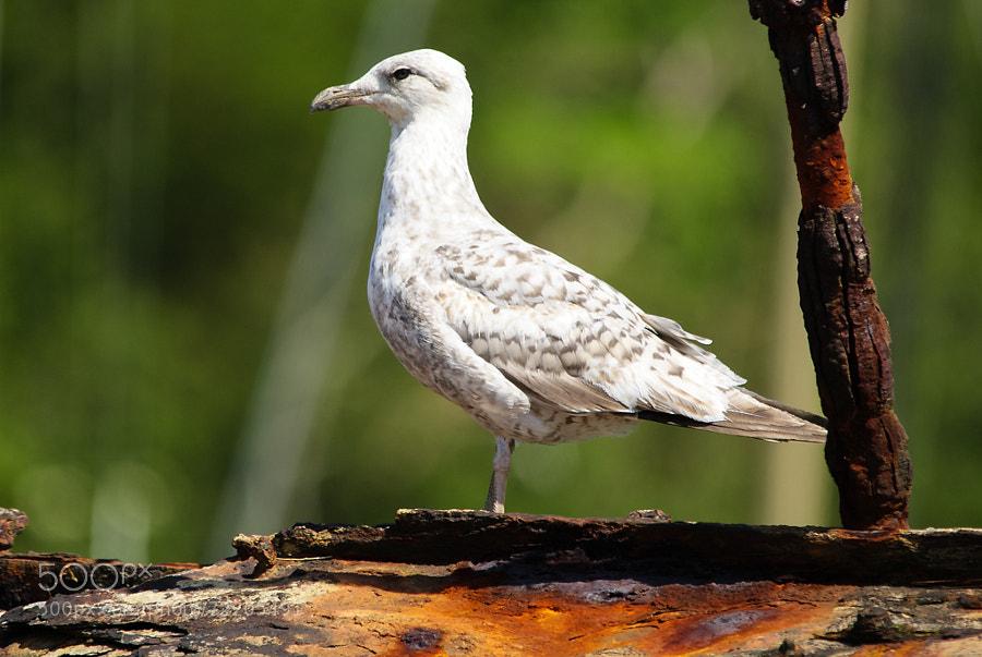 Rust loving Gull