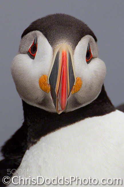 Photograph Atlantic Puffin CLOWN OF THE SEA by Christopher Dodds on 500px