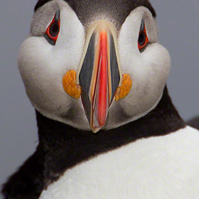 Atlantic Puffin CLOWN OF THE SEA by Christopher Dodds (ChristopherDodds)) on 500px.com