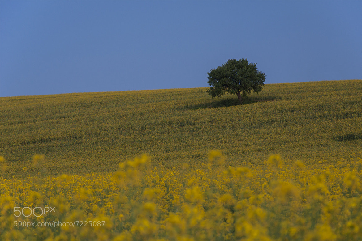 Photograph Yellow Field by Йоан Митов on 500px