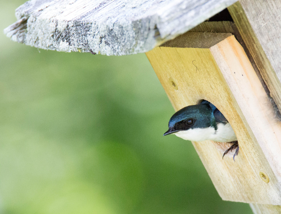 A tree swallow looking out of a house at Wolf Prairie Preserve