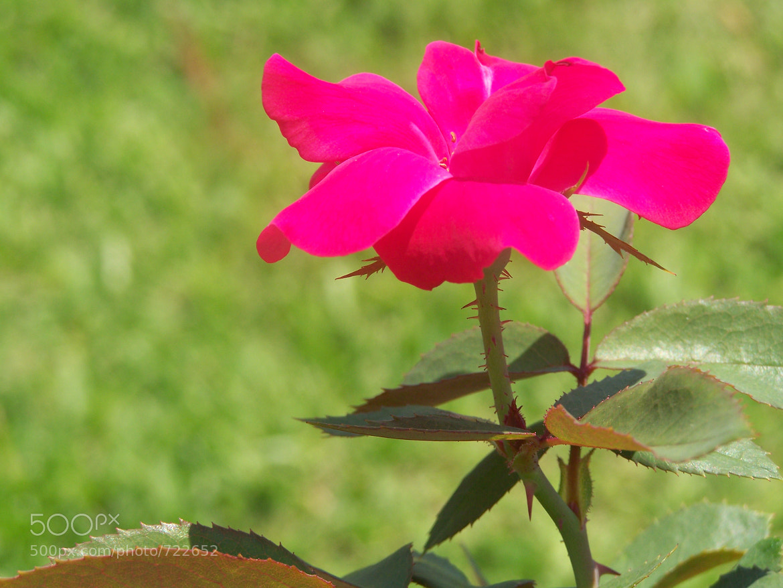 Photograph Tiny Rose by Lynn Magnuson on 500px