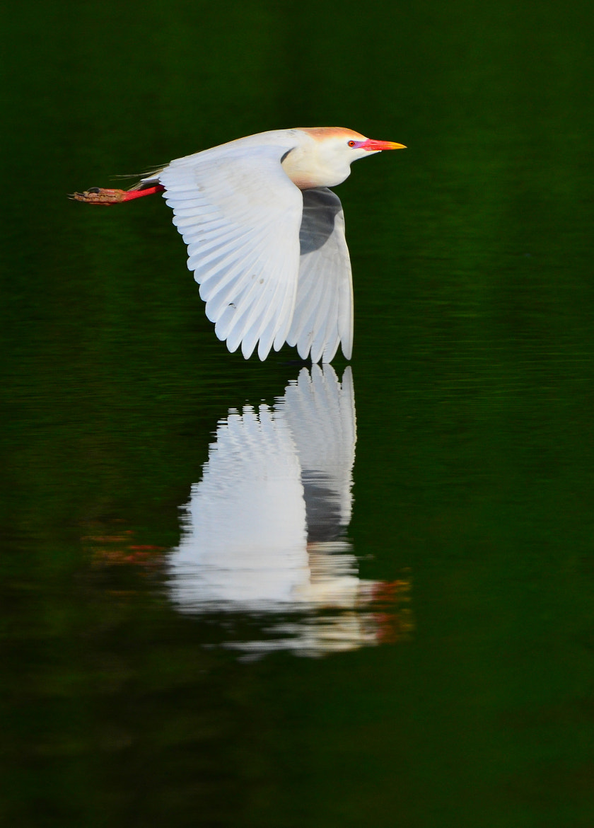 Photograph Cattle Egret by Lyle Gruby on 500px