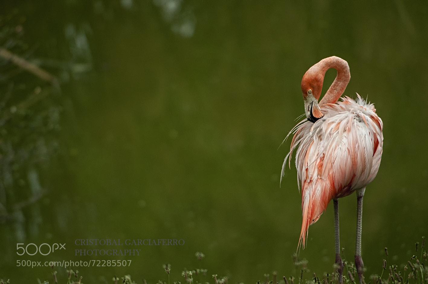 Photograph Flamingo by Cristobal Garciaferro Rubio on 500px