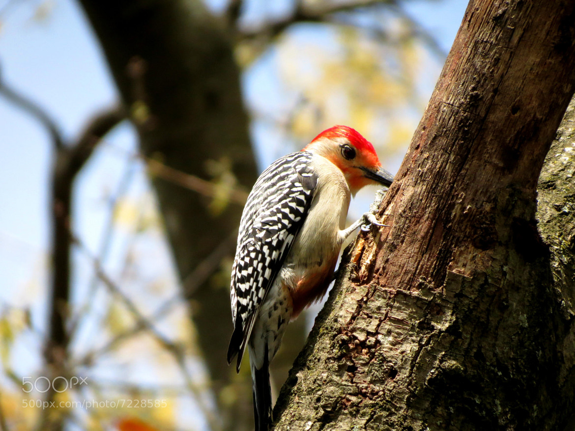 Photograph Woodpecker by Adrian D on 500px