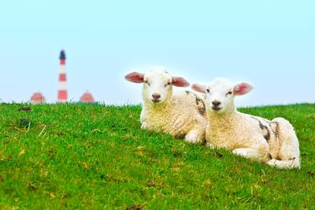 Dike Sheep #2