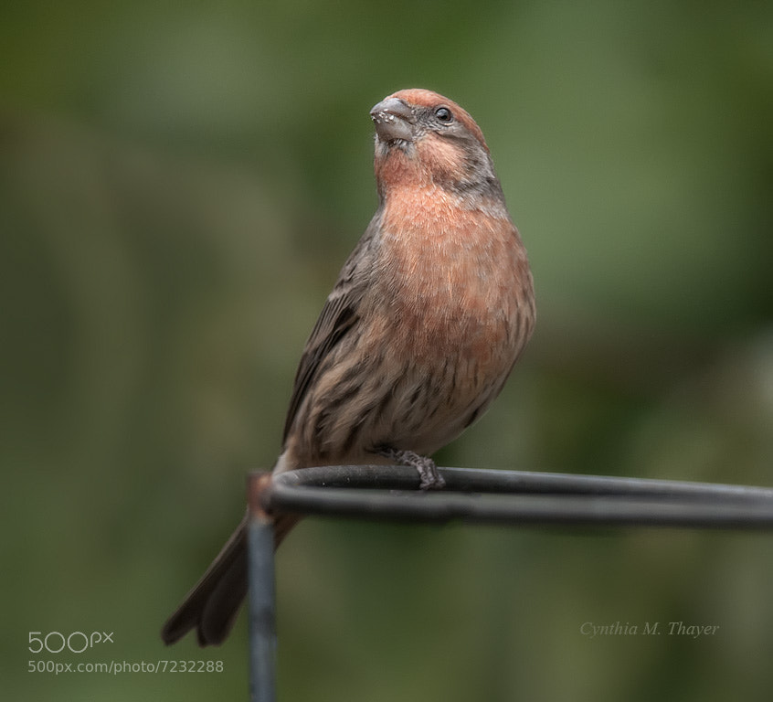 Photograph Male House Finch by Cynthia Mathre Thayer on 500px