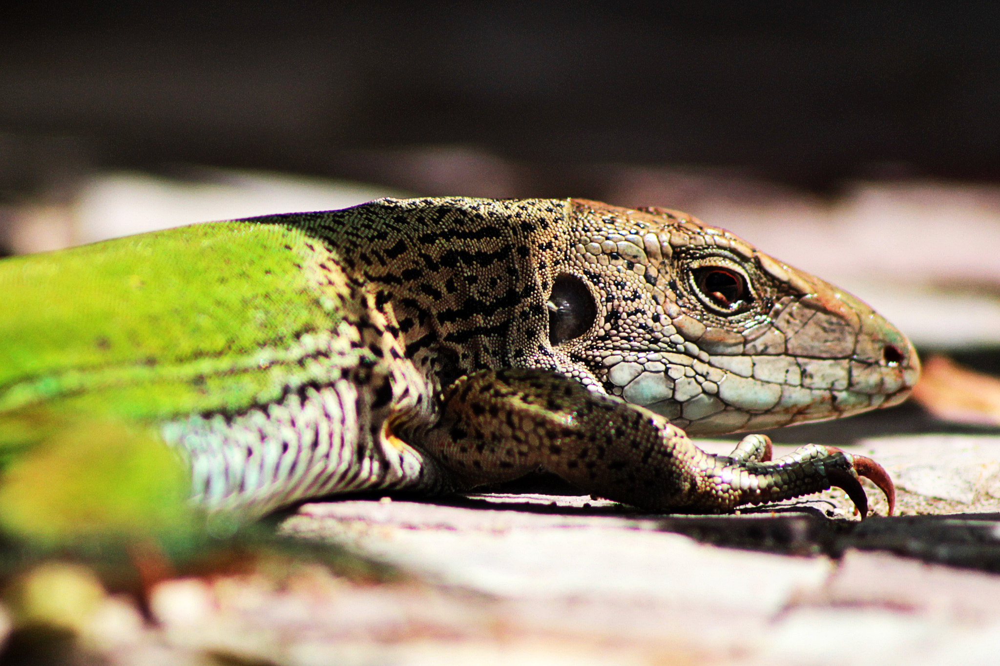 Photograph Ameiva ameiva by Fred Schueler on 500px