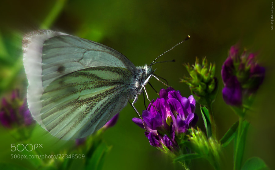 Photograph butterfly by Mehmet Çoban on 500px
