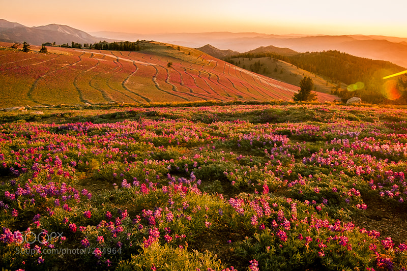 Photograph Lupin Rise by Scott Rokis on 500px