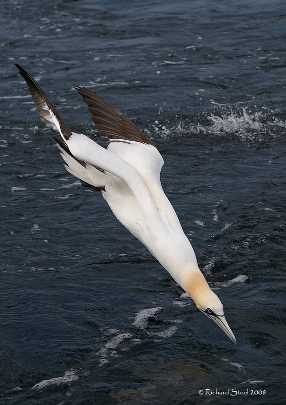 Photograph Gannet by Richard Steel on 500px