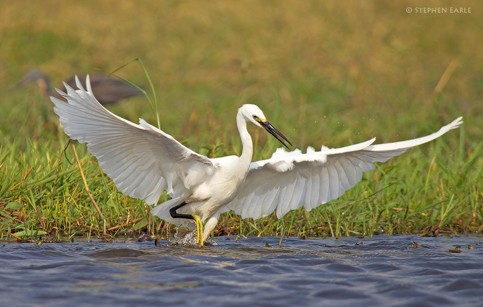 Photograph Little Egret by Stephen Earle on 500px