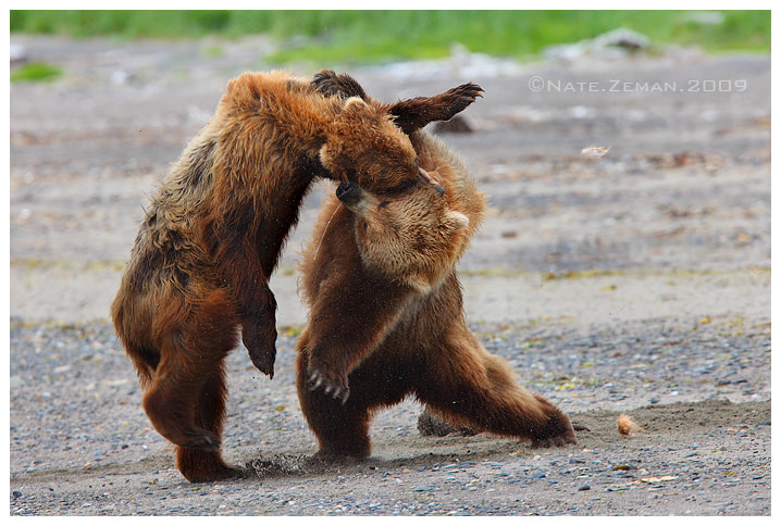 Photograph Battle at Katmai by Nate Zeman | natezeman.com on 500px