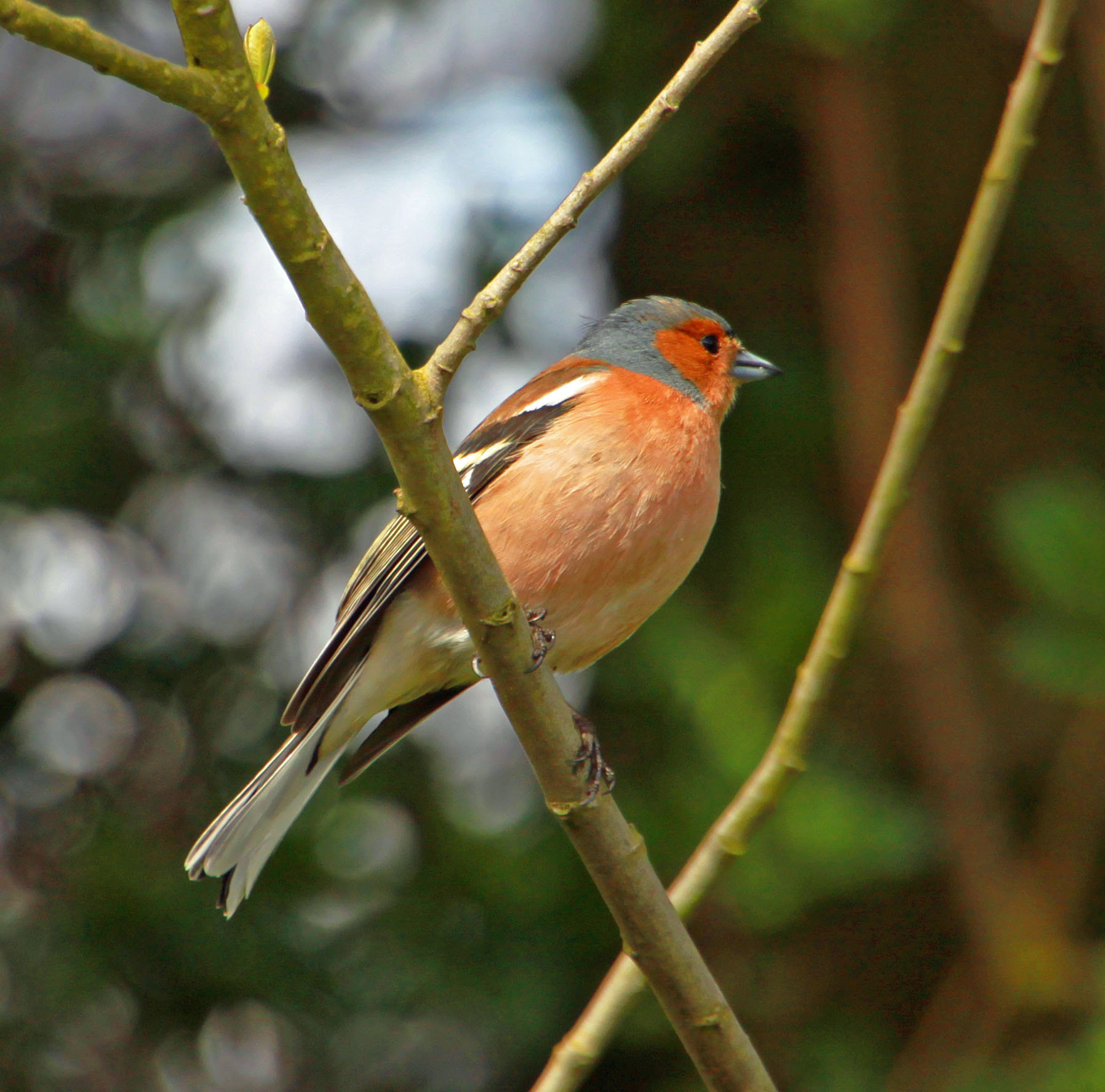 Photograph Chaffinch by Hilda Murray on 500px