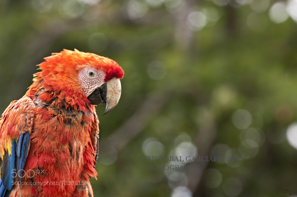 Photograph Macaw in red color by Cristobal Garciaferro Rubio on 500px