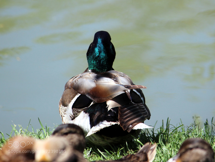 Photograph ducks by Jean Crawford Evans on 500px