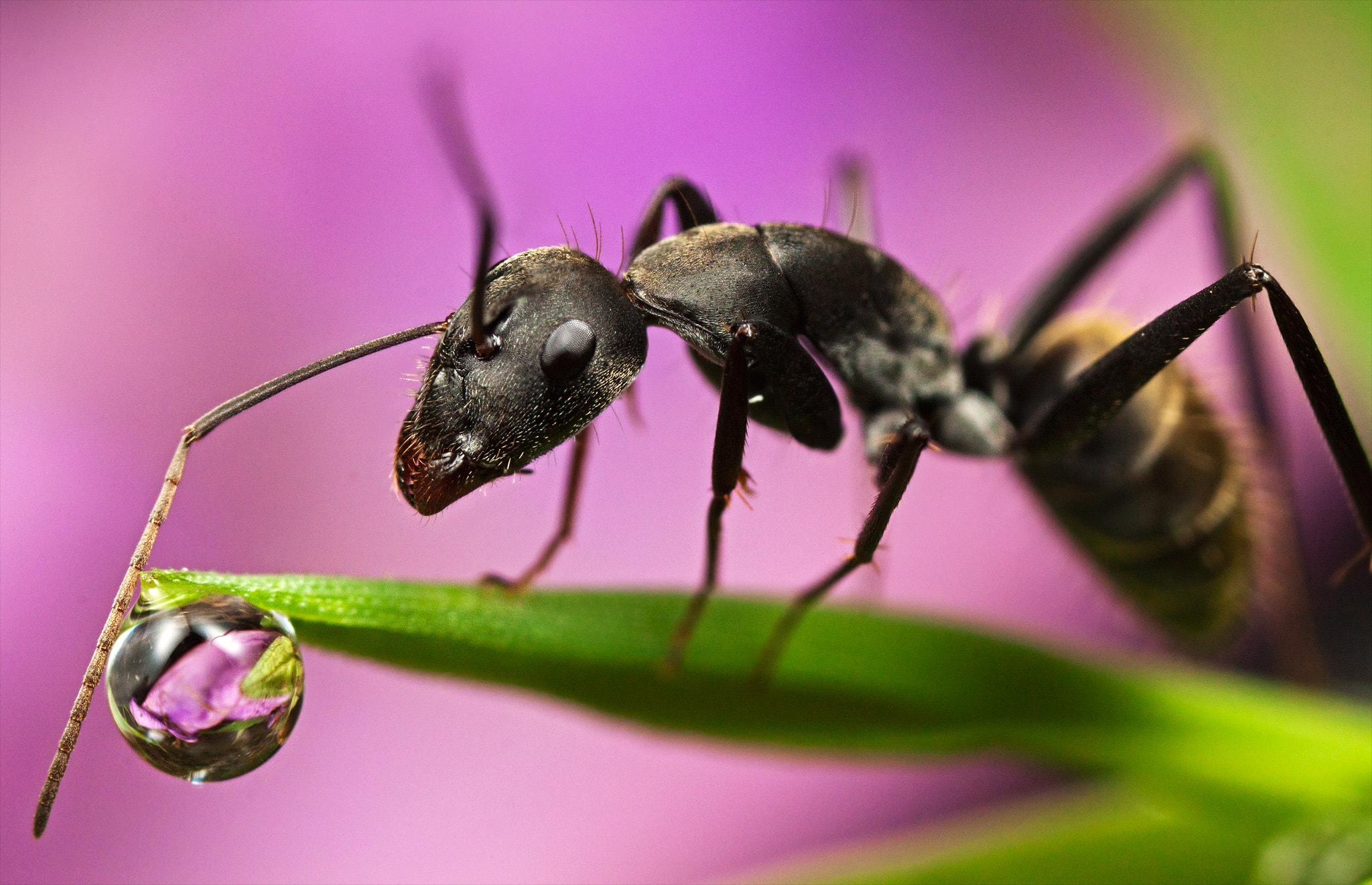 Photograph Ant peers into droplet by John Cogan on 500px