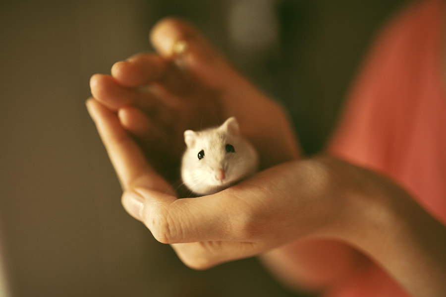 hamster by Ryman Chu on 500px.com