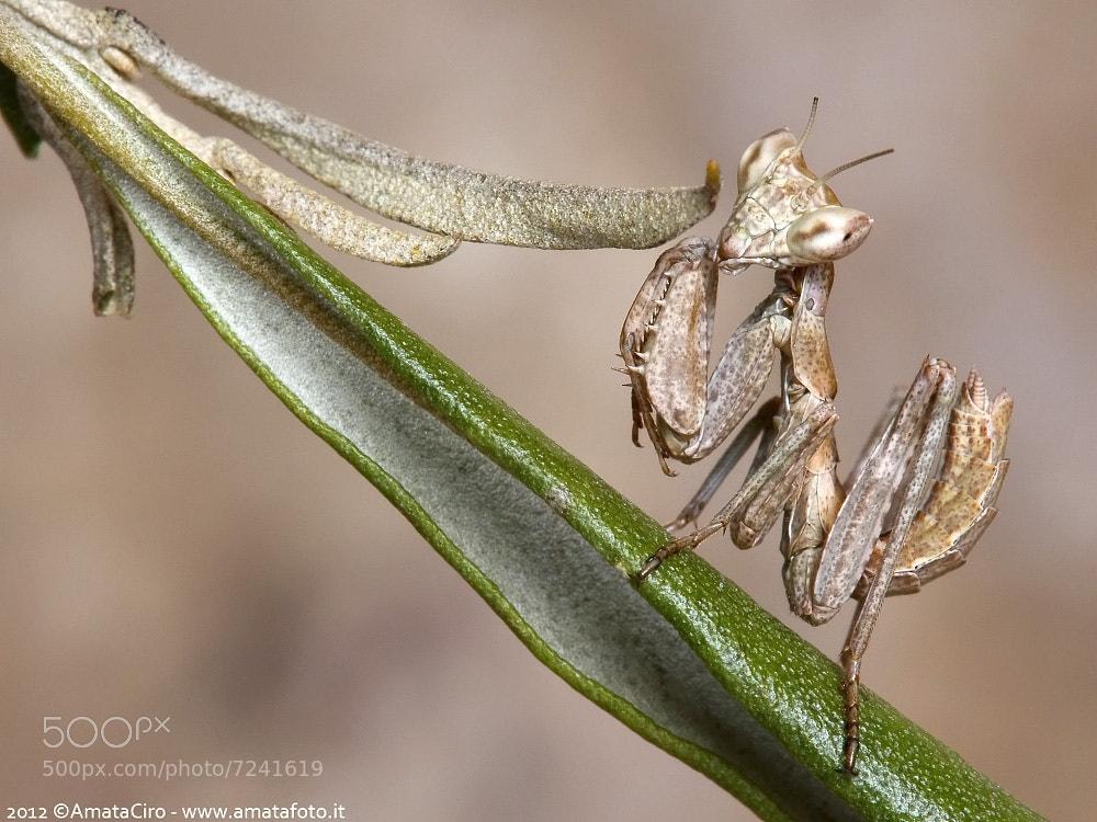 Photograph Ameles spallanzania (Rossi, 1792)  - Mantidae  by Amata Ciro on 500px