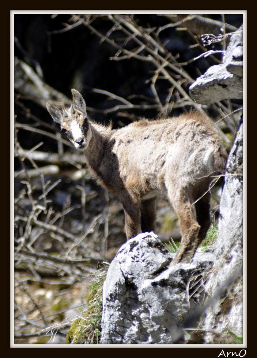 Photograph Chamois by Arnaud CHATEL on 500px