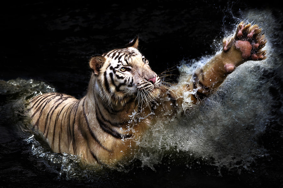 Tiger photography -reach out by Ivan Lee on 500px.com