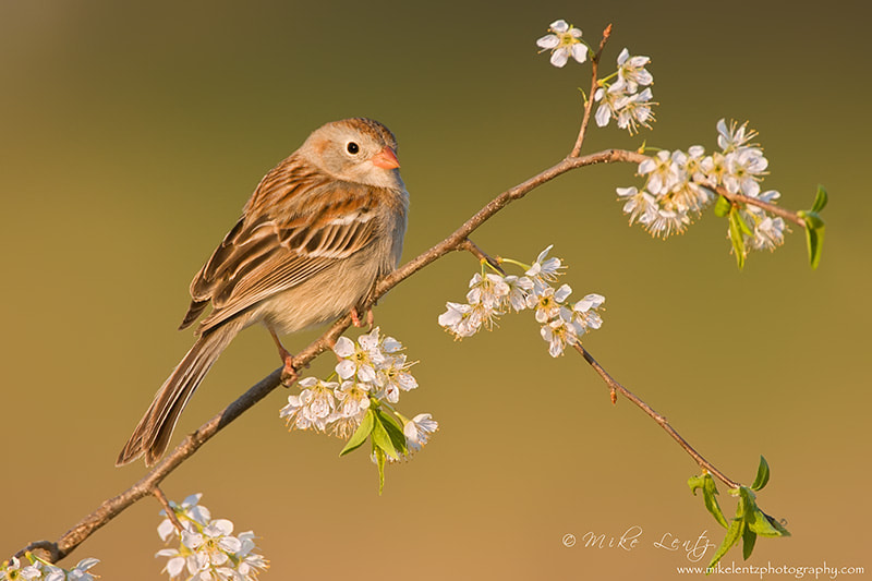 Photograph Field Sparrow at last light by Mike  Lentz on 500px