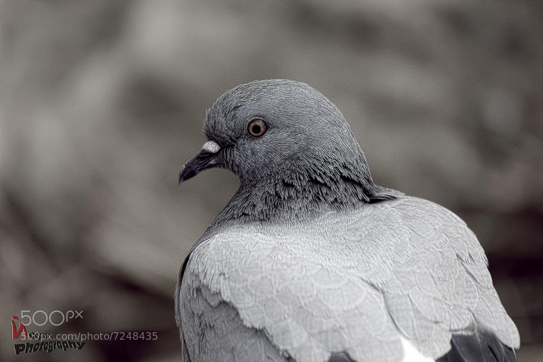 Photograph Pigeon 2 by Noyan Keskin on 500px