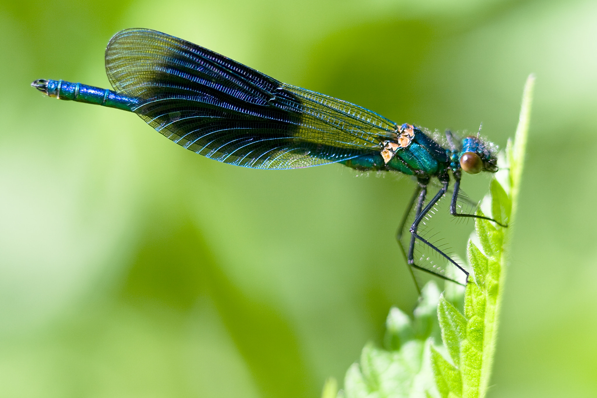 Photograph Blue Demoiselle by Karl Batchelor on 500px