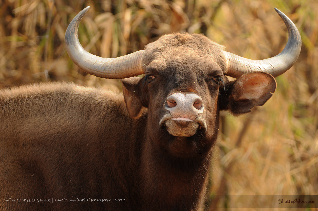 Photograph Meet the mighty Bison by Nishant Shah on 500px