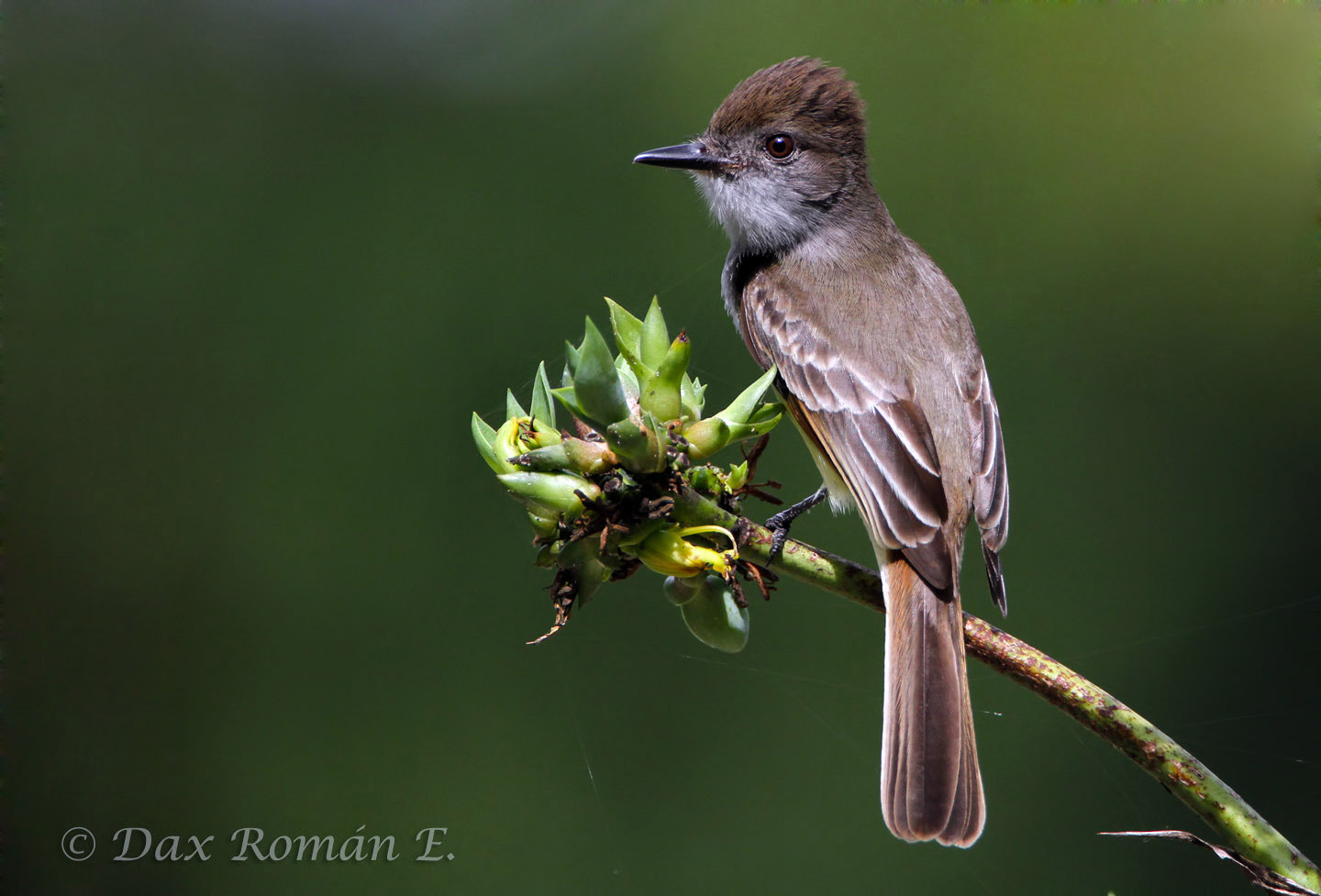 Photograph Stolid Flycatcher (Myiarchus stolidus) by Dax Roman on 500px