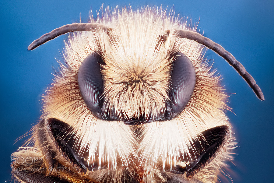Yellow Legged Mining Bee  by Alexander Rauch (AlexanderRauch) on 500px.com